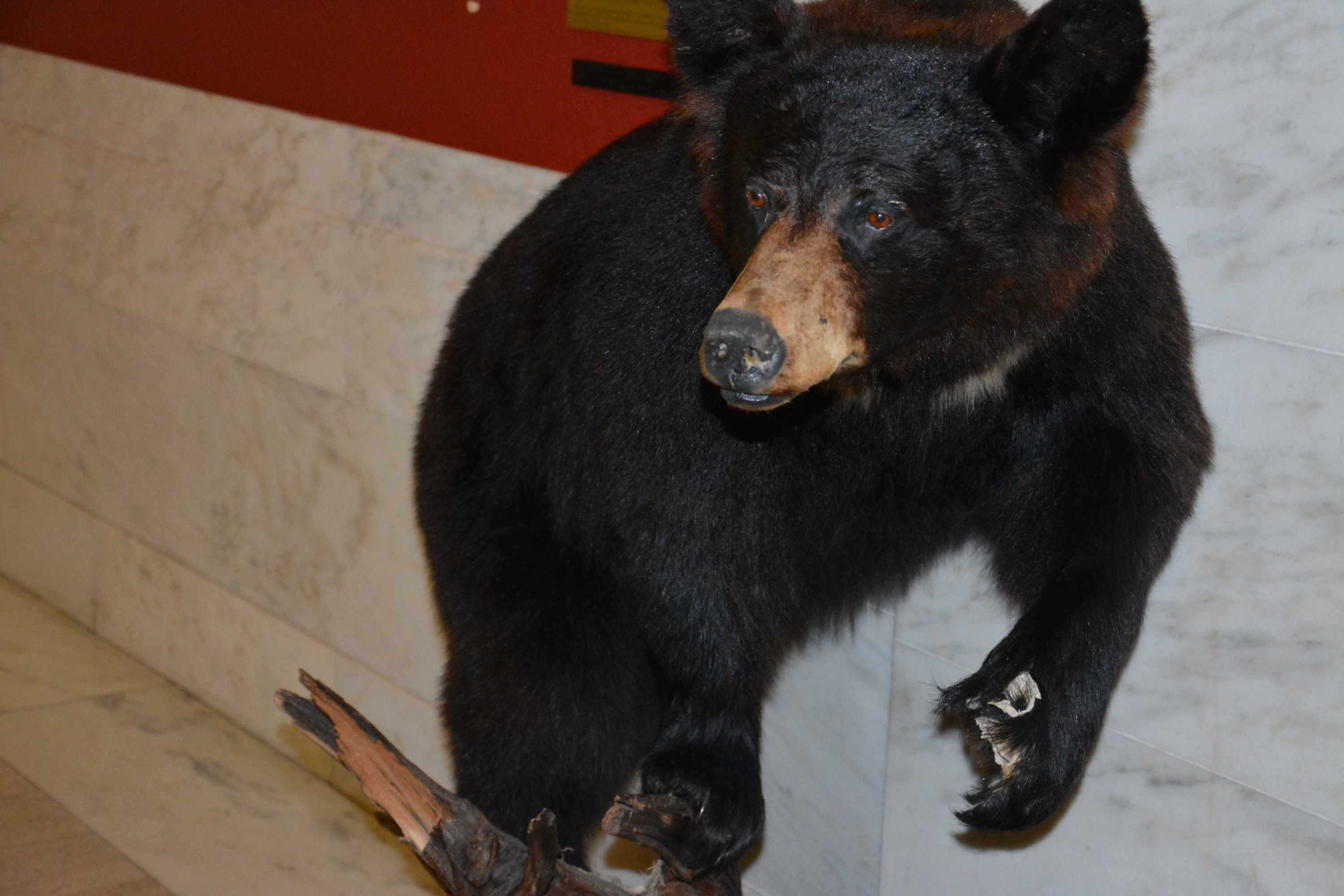 Officials in Morrisey's office noticed Aug. 5 that the older bear's paw was missing. The new bear will join this one.