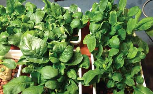 Photo courtesy of Wheeling Jesuit University. Spinach and mixed mild greens grow in a six-pot hydroponic system that sits in a recycled tub of nutrients.